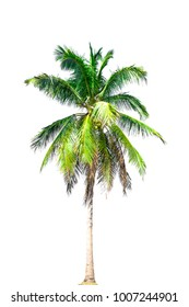 Big green coconut tree  isolated on a white background