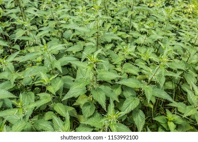 Big green field of nettles