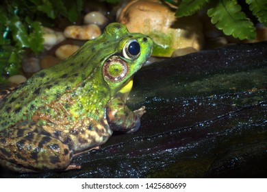 big green frog nature wildlife water environment