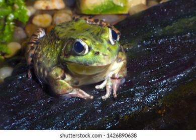 big green frog wildlife water rock environment