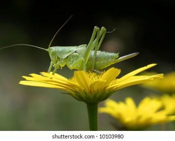 Big green grashopper sitting on a yellow flower