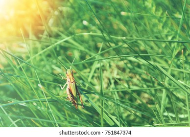 Big green grasshopper sitting on a blade of grass in beautiful sunlight