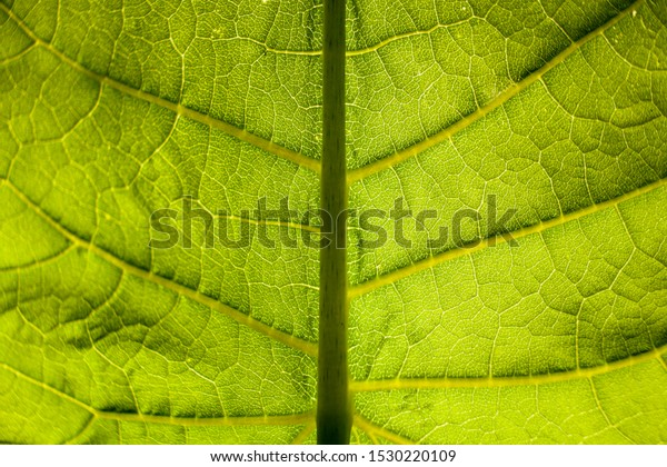 Big green leaf closeup macro. Leaf structure against the light.