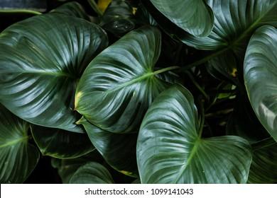 Big green leaf for flower arrangement.  Popular choice of florist using exotic jungle plant leaf. Background concept.