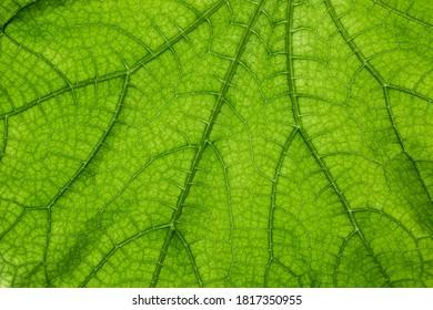 Big green leaf with many leaf veins