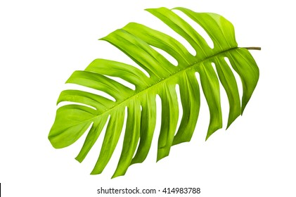 Big green leaf of Monstera plant