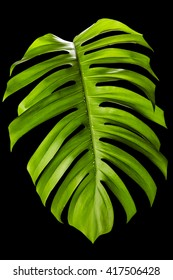 Big green leaf of Monstera plant isolated