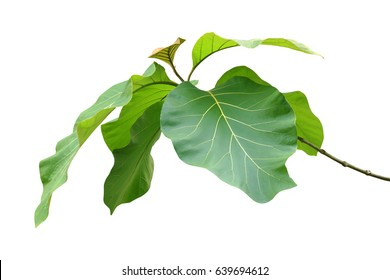 Big Green Leaves of Teak Tree Isolated on White Background