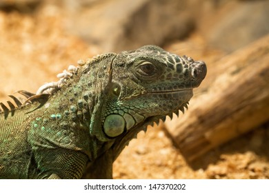The big green lizard on wood background closeup