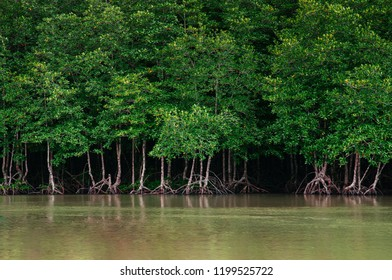 Big green magle tree in Thailand tropical mangrove swamp forest lush evergreen nature river landscape