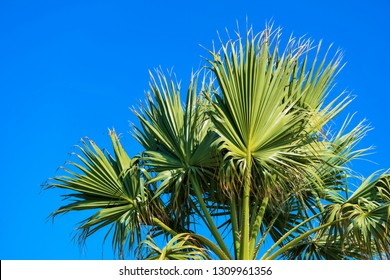 big green and magnificent branches and leaves of a palm tree against the background of the blue sky