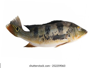 Big green peacock bass fish isolated on white background