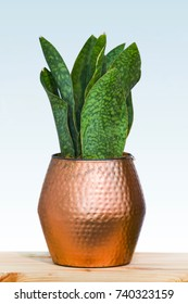 Big green plant in a beautiful copper flower pot, isolated on a white background, design concept copper in the interior