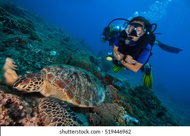 A big green sea turtle and scuba divers in bright blue clear water in Indonesia