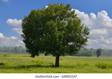 Big green tree in grass field with cloudy sky