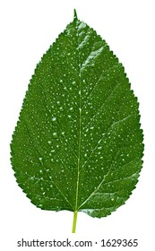 Big green tree leaf with water drops texture isolated on white background