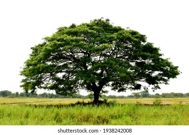 Big green tree on green fields landscape background