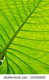 Big green tropical leaf - Giant Upright Elephant Ear close-up
