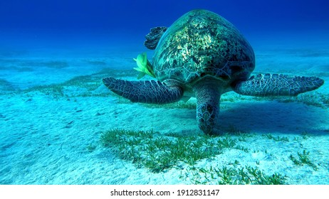 Big Green turtle on the reefs of the Red Sea.