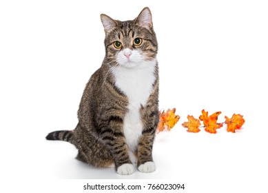Big grey cat and autumn leaves on white background