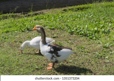 Big grey goose and white goose walking on green grass on Sunny day