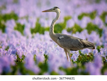 Big Grey heron Ardea cinerea, wading bird in the field of pink and violet water hyacinth in soft light, nice bokeh, very colorful photo, art view. Sri Lanka.