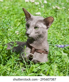 Big grey oriental cat