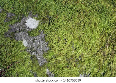 A big grey rock covered with green wet moss that has amazingly beautiful texture. In addition to moss there is also some lichen. Lovely piece of nature located in Finland, Europe. Closeup photo.