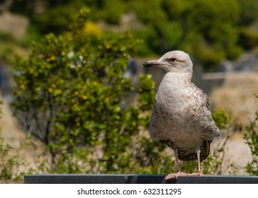 Big grey seagull