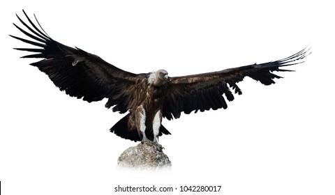 Big Griffon vulture landing on stone on white background