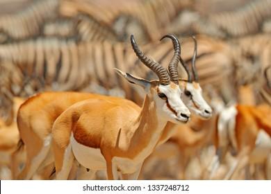 Big group of animals, Namibia. Herds of animals near the water hole, Etocha NP, Namibia, Africa. Sunny hot day in dry season in desert. Gemsbok, Oryx gazella, large antelope with zebras.