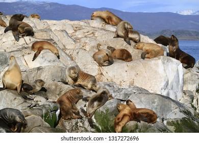 Big Group of Sea Lions on the Rocky La Isla de Los Lobos Island in Beagle Channel, Patagonia, Argentina