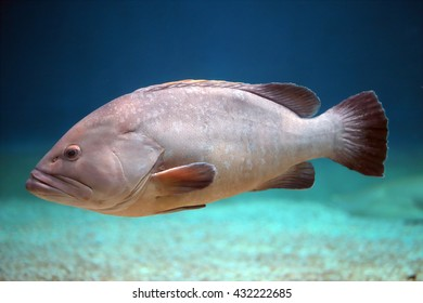 A big grouper swimming alone close to the seabed. These fishes can be quite large, and lengths over a meter and weights up to 100 kg are not uncommon