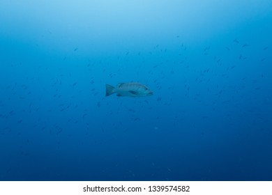 A big grouper swimming in the pelagic sea with a fish swarm in the background above the reef of the tropical island Bonaire