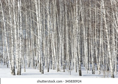 big grove of silver birches in the spring in snow