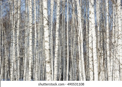 big grove of silver birches in the spring
