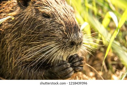 Big And Hairy Beaver With Long Whiskers