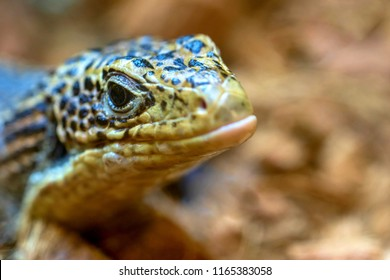 the big head of a lizard a monitor lizard with corrugated skin closeup in the foreground with an open eye