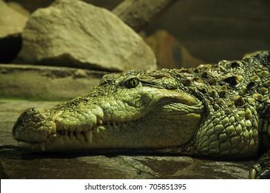 "The big head of mugger crocodile (Crocodylus palustris = ""crocodile of the marsh""), or sindhu or marsh crocodile"