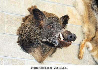 Big head of wild hog pig at wall