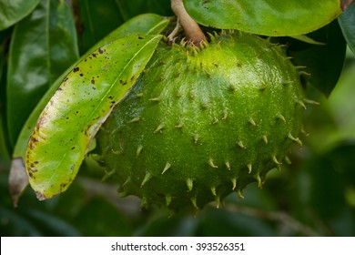 big healty green graviola fruit on a graviola tree