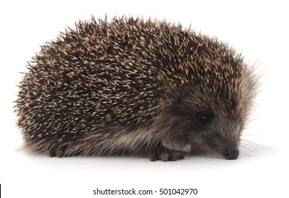 Big hedgehog isolated on a white background.