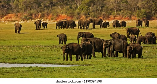 big herd of Asiatic elephants (Elephas maximus) at National park Minneriya