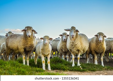 Big herd of cute Merino or Merinolandschaf sheep staring at me in a green pasture in a farm in South Africa