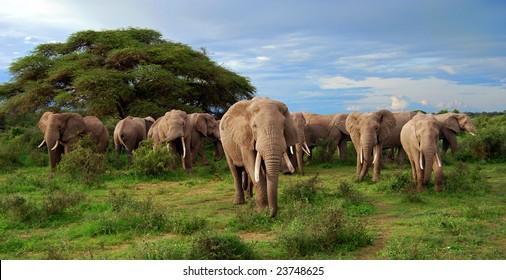 A big herd of elephants in the wild