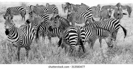big herd of zebra's in black and white
