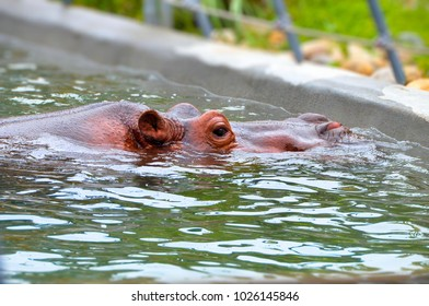 The Big Hippo