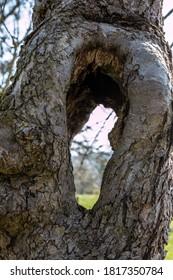 Big hole inside an old apple tree
