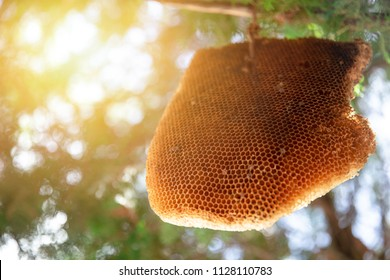 Big Honeycomb or Bee Hive hang on tree nature insect home
