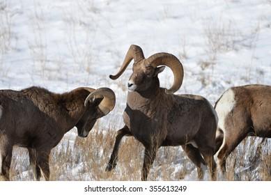 Big Horn Mountain Sheep in the rut.